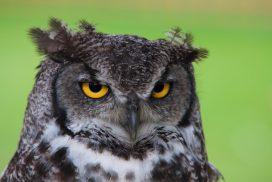 night owl, owl