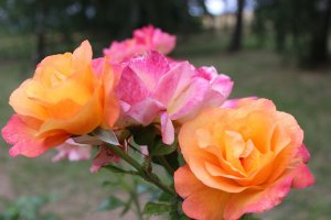 Be Your Best Self - Roses Metaphor. #BeYourBest #BeYourBestSelf #BestSelf #iCreateDaily