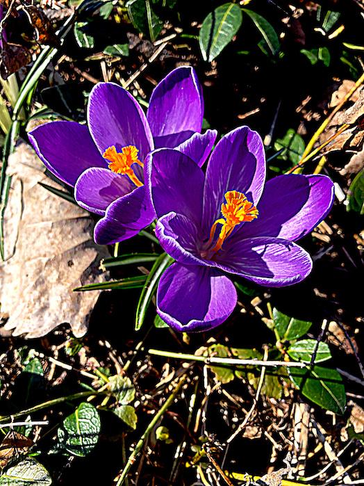 PURPLE FLOWERS - Purple Crocus Flowers Photograph; Purple Flowers Poem Rosalie Sanara Petrouske  - Details about Photograph #PurpleFlowers  #DigitalArt #PurpleFlowerDrawings   #iCreateDaily #iArtDaily