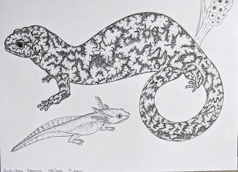 """LINETTE JENSEN ARTIST:#inktober2020, small mouthed salamander. Eggs larva and adult. Drawn from photos with micron pen. Today's challenge was""""go big"""" so I drew a small animal larger than life. 9x12inch Bristol board.~Linette Jensen, artist  #iCreateDaily #ArtistBios #ArtDescription #ArtistDescription #ArtBios #ArtLabels #ArtStories #LinetteJensen #Inktober2020"""