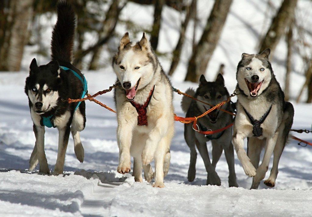 happy Sled dogs pulling-mushing